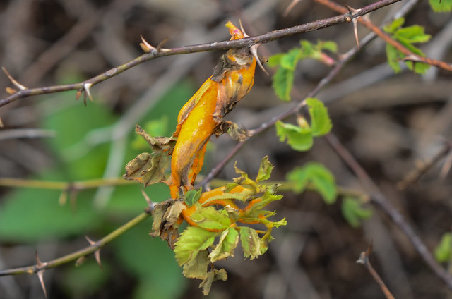 Orange Rose Rust (Phragmidium)
