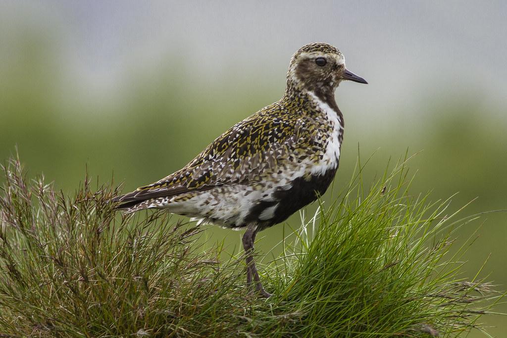 Heiðlóa / European Golden Plover