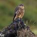Smyrill Falco columbarius Merlin