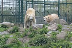 Eisbären Henk und Beja  im Dierenrijk in Mierlo
