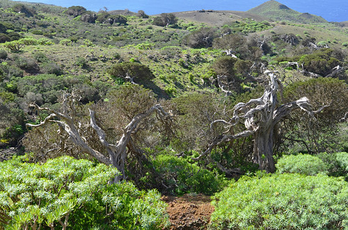 Sabine Forest, El Hierro, Canary islands