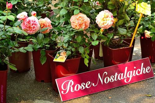 nostalgic roses