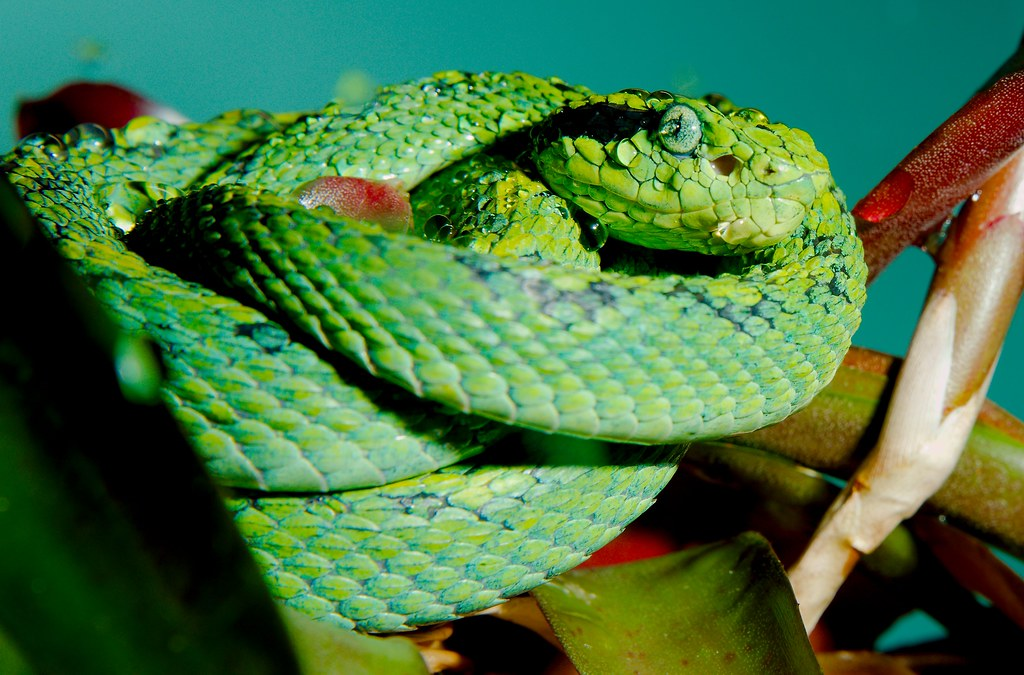 Yellow-blotched Palm-pitviper (Bothriechis aurifer)