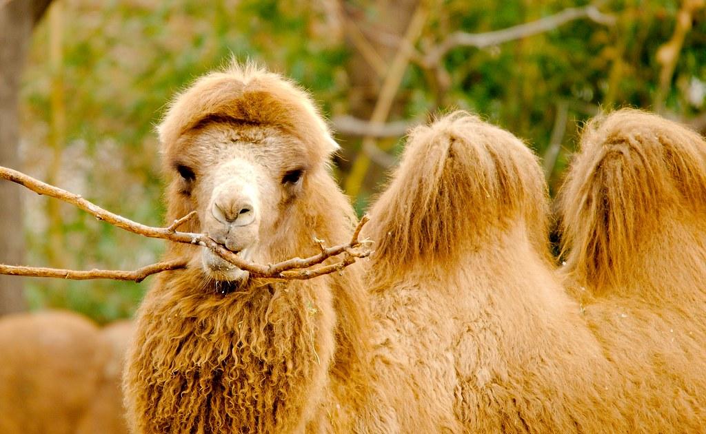 Bactrian Camel (Camelus bactrianus)_8