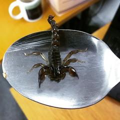 arthropod, animal, scorpion, invertebrate, insect,