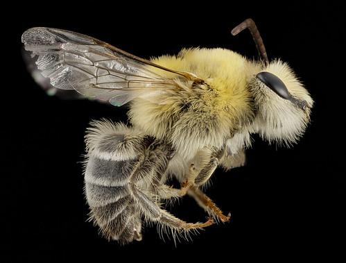 Bearded Bee