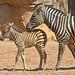 Cebras (madre y cría) en BIOPARC Valencia