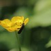 Small photo of Oedemeridae