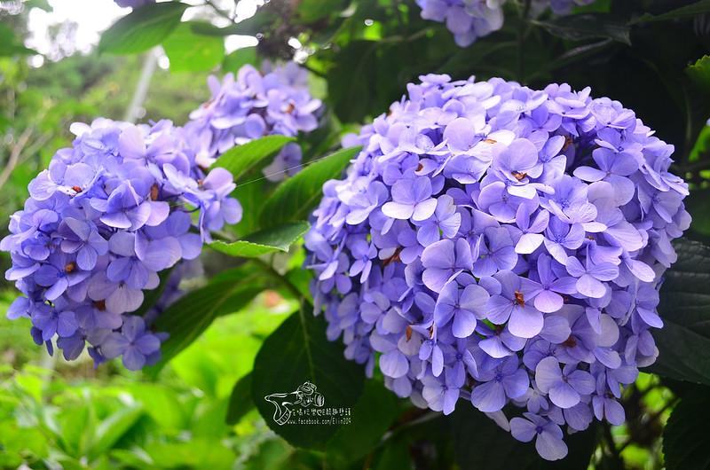 繡球花 (8)
