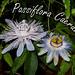 Passiflore - Passiflora Caerulea by Alizee Glasser