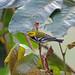 Black-throated Green Warbler, San Francisco, Chiapas, Mexico