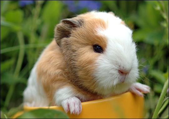 guinea-pig1