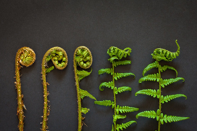 five fern fronds unfurling. study on black.