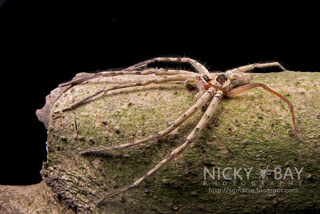 Huntsman Spider (Sparassidae) - DSC_3102
