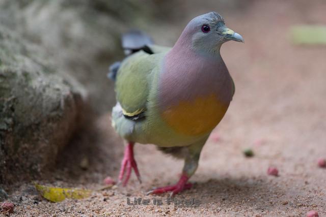 Sweet Dove