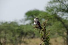 Tanzania-Serengeti-16