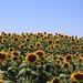 Sunflower field!