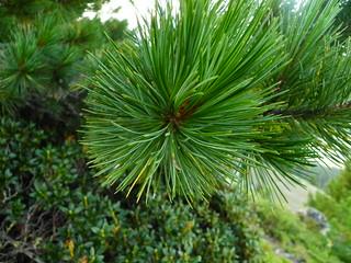 Pinus cembra=Pin cembro ou arolle (3)