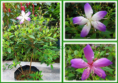 Tibouchina mutabilis, a purplish-pink cultivar, Aug 24 2013