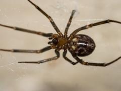 Spider (underside)