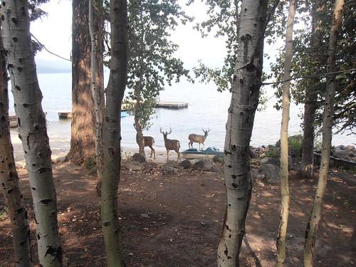 CC deer17