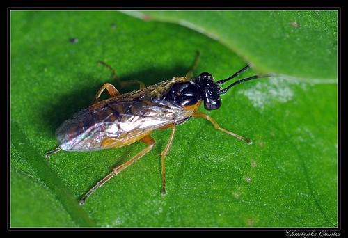 Nematus sp. mâle (Nematus pavidus ?)