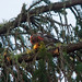 Two-barred Crossbill (John Willsher)