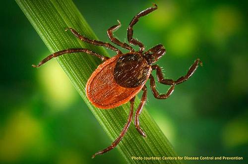 胛硬蜱 (Ixodes scapularis)是萊姆症的病媒之一。圖片作者:Fairfax County,圖片來源:http://www.flickr.com/photos/fairfaxcounty/7209178370/in/photostream/,本圖符合CC授權使用。