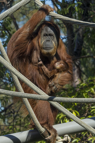 Mother and Baby Orangutan by San Diego Zoo Global
