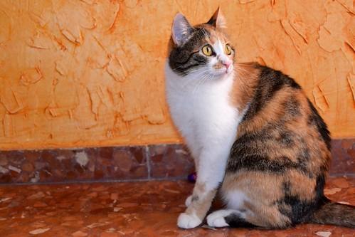 Jaspe, maravillosa tricolor de ojos cobrizos esterilizada nacida en Abril´11, necesita adopción. Valencia. ADOPTADA.  10926020133_dca39a4660