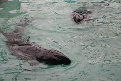 成大鯨豚救援中心裡,小虎鯨搶食志工餵養的魚。(圖片來源:成大海洋生物及鯨豚研究中心)