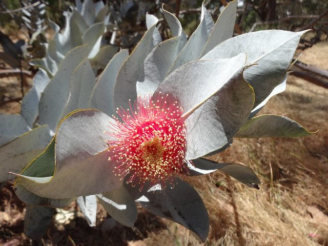 Eucalyptus macrocarpa. A Western Australian native growing in the Waite Arboretum University of Adelaide.