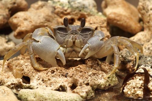 心掌沙蟹 (Ocypode cordimanus) 與一般快速奔跑的沙蟹不同,身體厚重,行動較緩慢,在高潮線到潮上帶之間的沙灘上挖洞穴居。(圖片攝影:施習德)