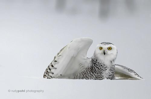 Snowy Owl, Ottawa, Canada