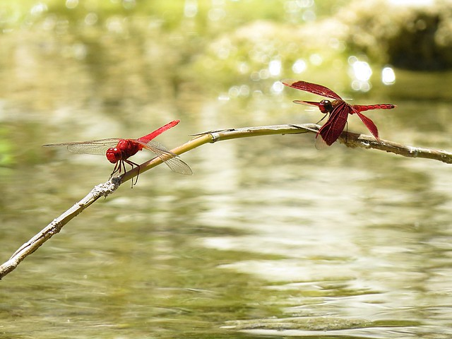 Red Grasshawk Dragonfly (Neurothemis fluctuans)  Photographs by Bernard Eirrol Tugade