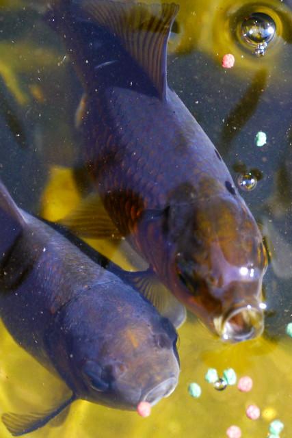 Dark Goldfish