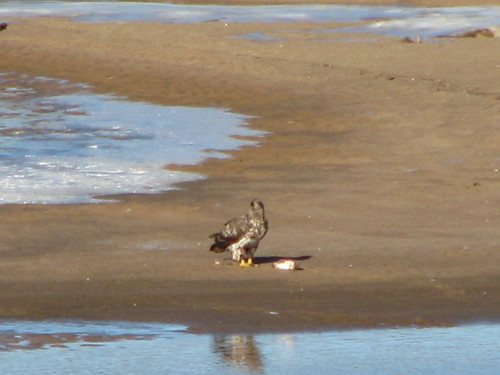Immature bald eagle perches on a sandbar in the Arkansas River at Tulsa, with a fish caught by an adult eagle, January 2014