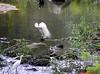 020 Little Egret - Egretta garzetta by Jen 64