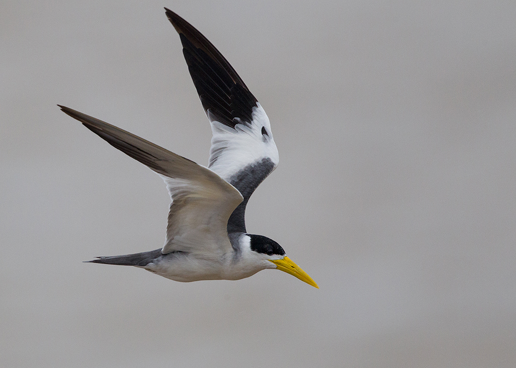 Large Billed Tern 2014-01-28