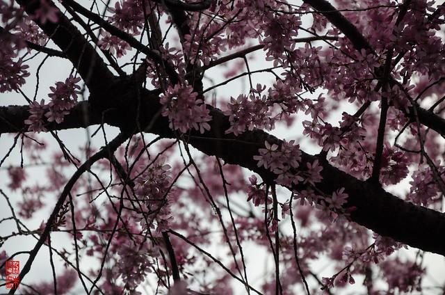 「桜色」 水火天満宮 - 京都