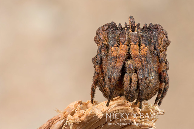 Tree Stump Orb Weaver (Poltys sp.) - DSC_7741