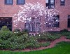 Blooming dogwood tree, 4/11/14