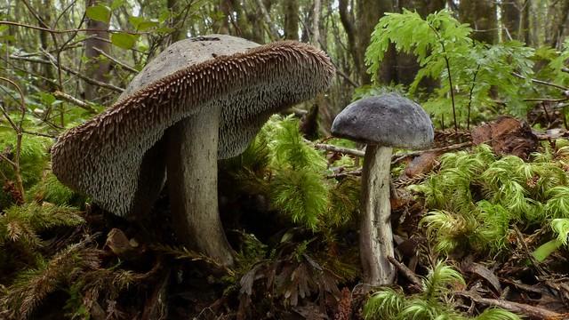 Sarcodon thwaitesii (Berk. & Broome) Maas Geest.