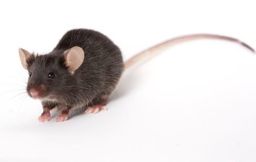 penyakit tikus