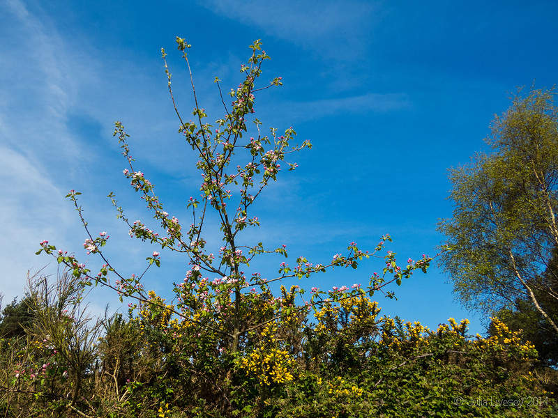 Crab Apple in blossom