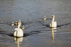 swan armada