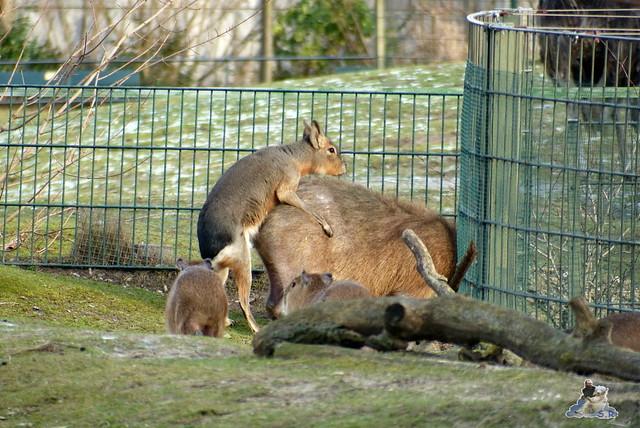 Zoo Berlin Orang Utan Rieke 08.02.2015 66