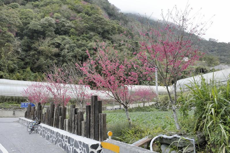 西寶的山櫻花