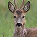 European roe deer  (Capreolus capreolus) Európai őz