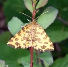 European Moths